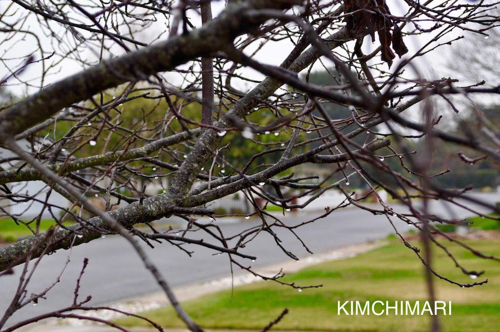 winter rain drops on cherry tree, california