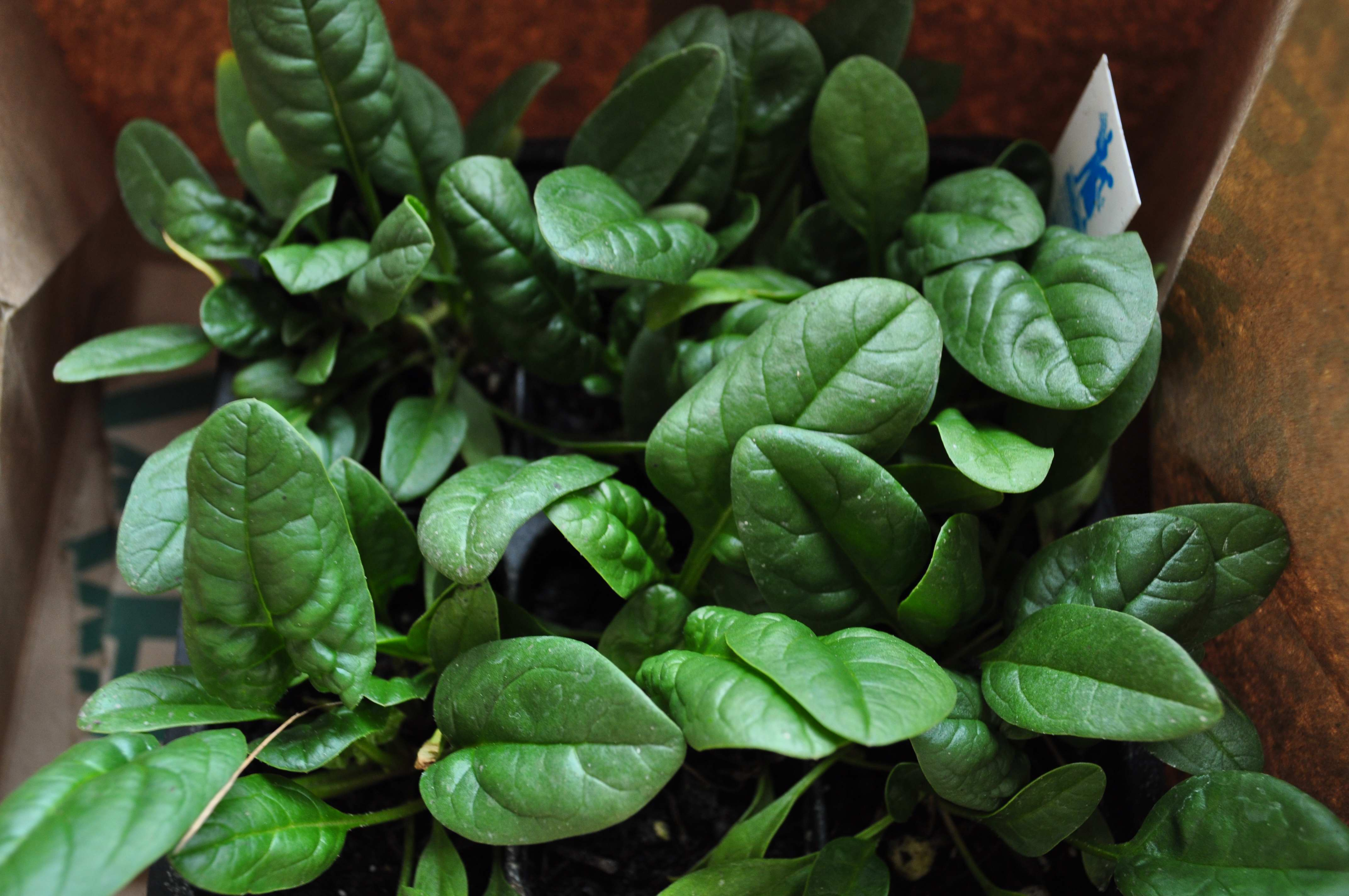 spinach for planting