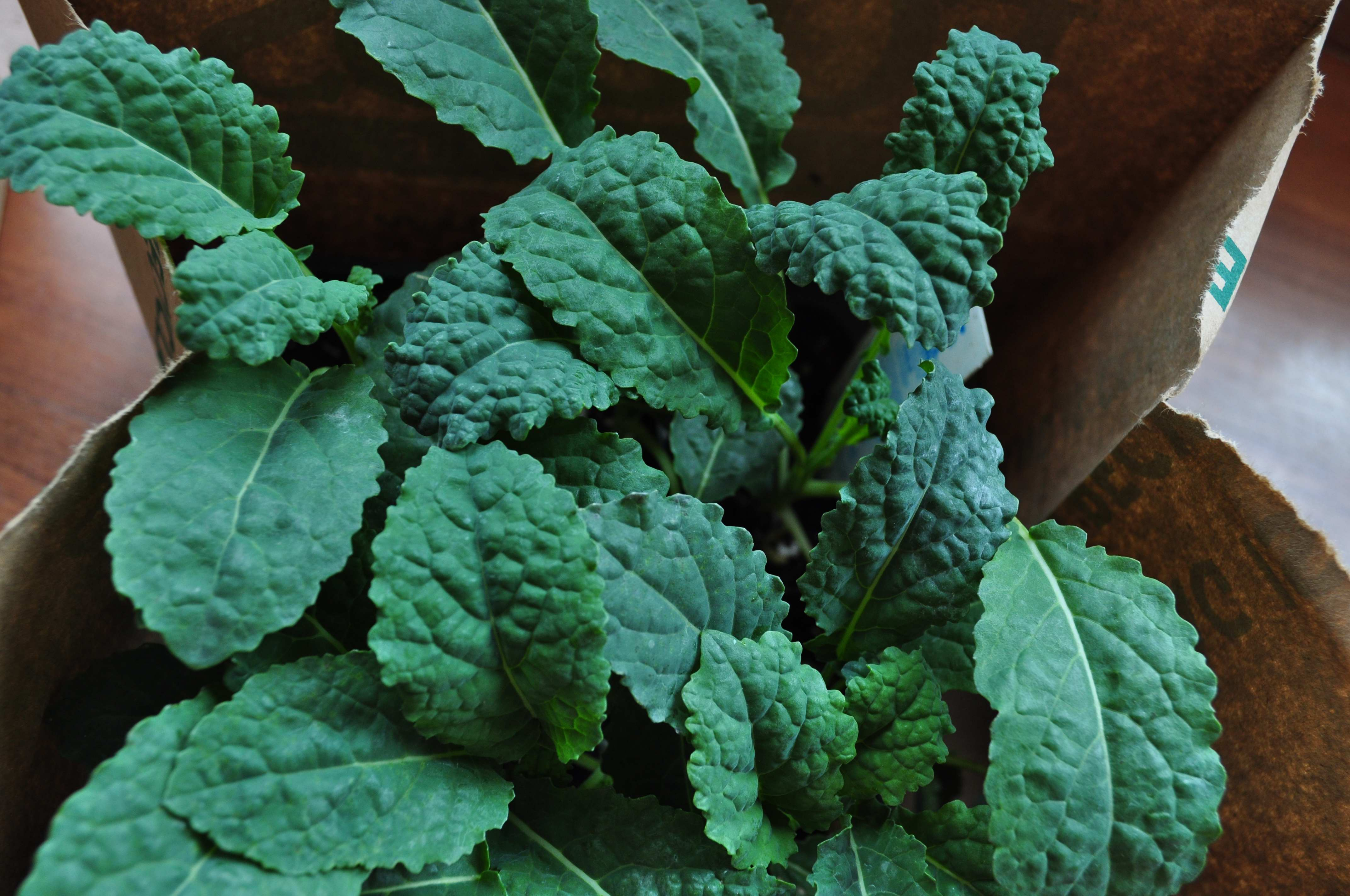 Kale for planting