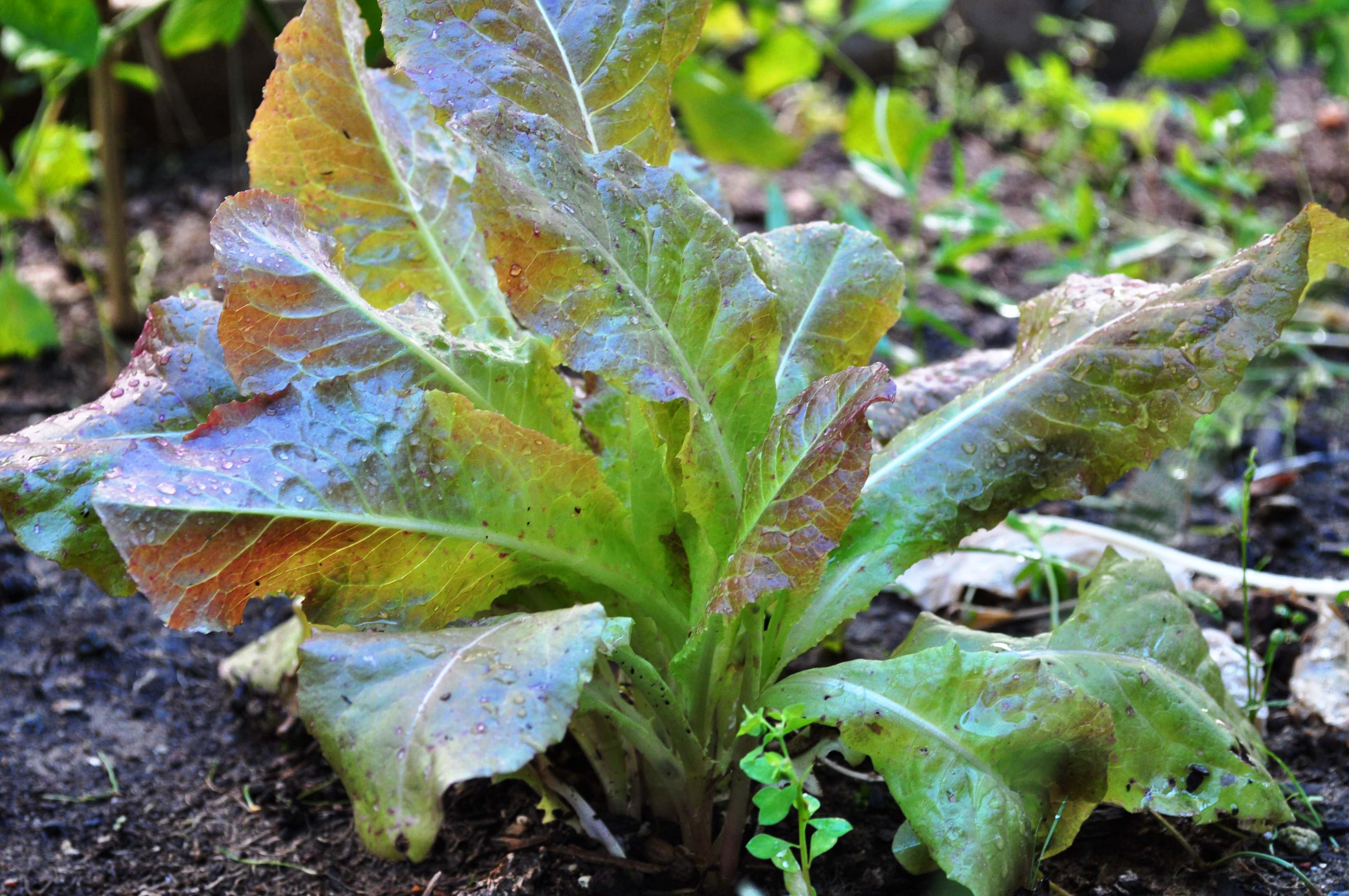 Seoul ruby lettuce (적치마 상추)