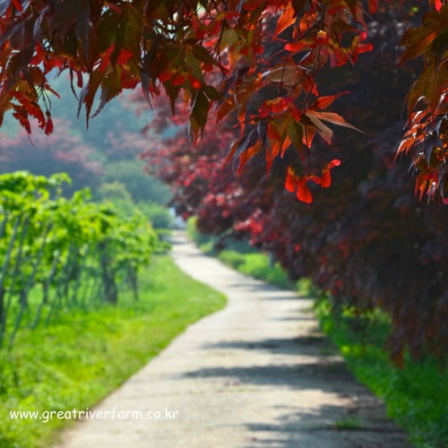 picture of red japanese maple and fruit trees lining the road to our farm