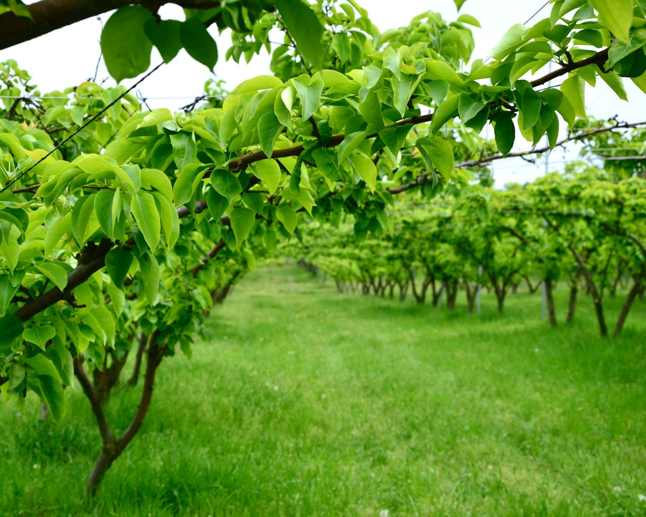 Korean Pear (Shingo) orchard