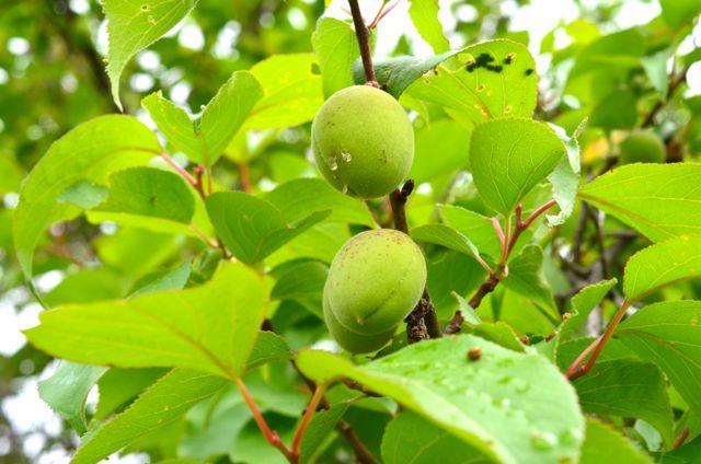 Japanese Green Plum or Maesil Tree