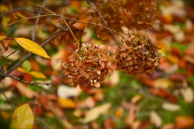 Hydrangeas in fall Korea