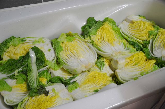 salted cabbage in tub for Kimchi