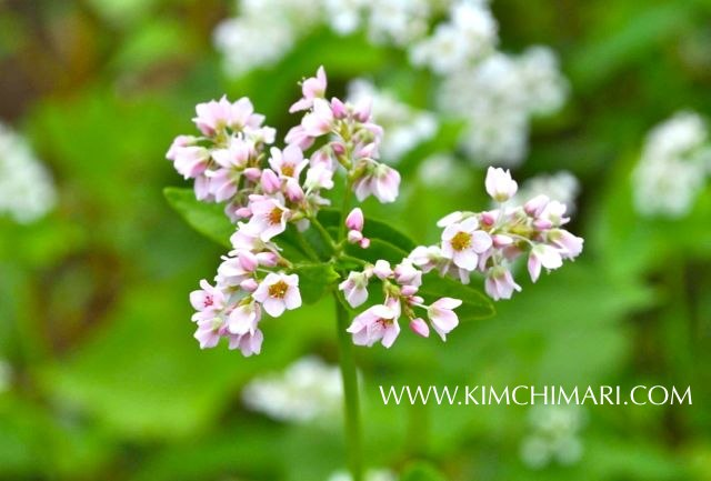 Buckwheat Maemil flower