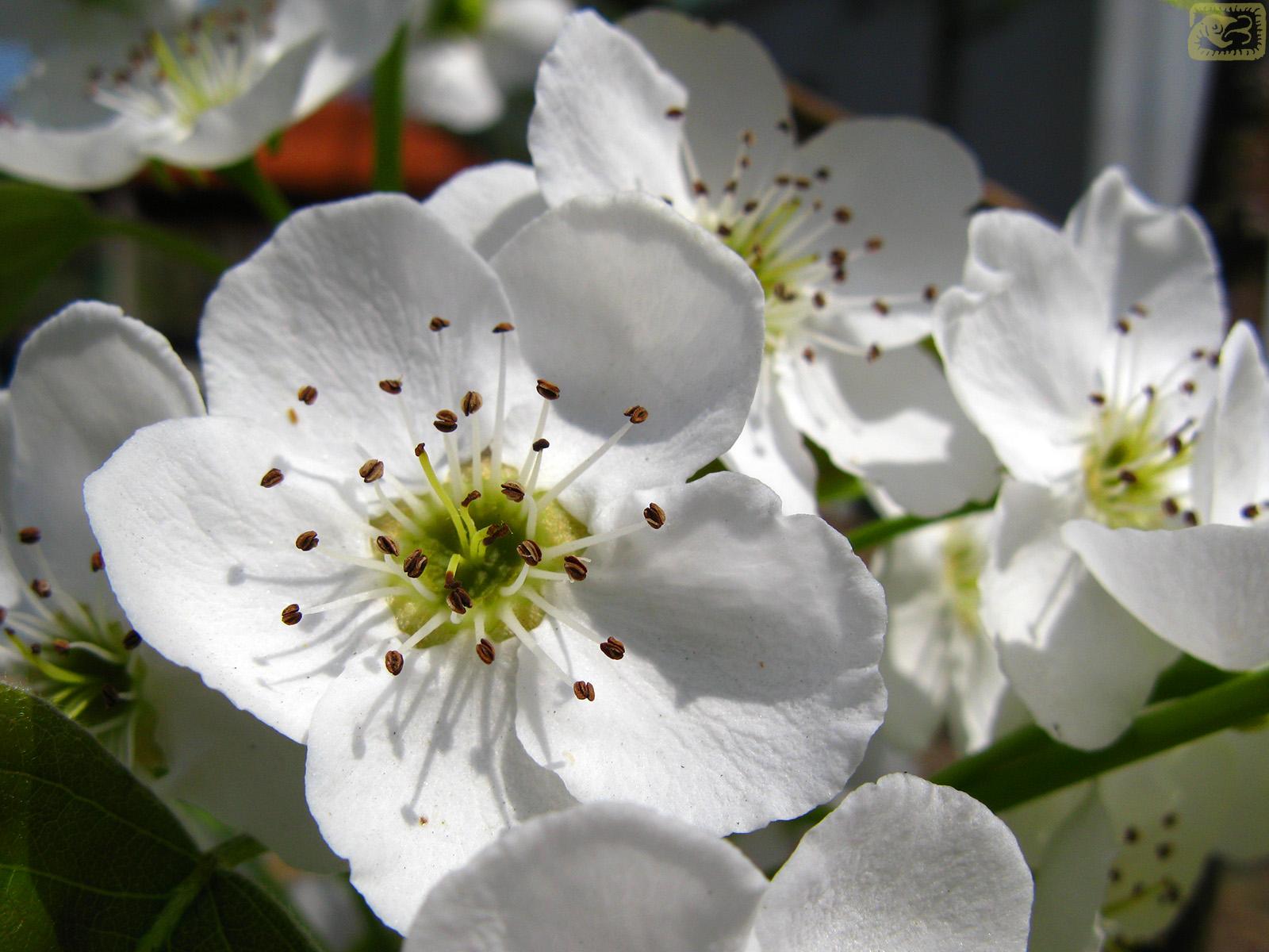Korean pear blossoms