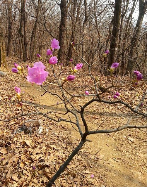 Korean Azalea Flowers (Jindalae kkot 진달래꽃)