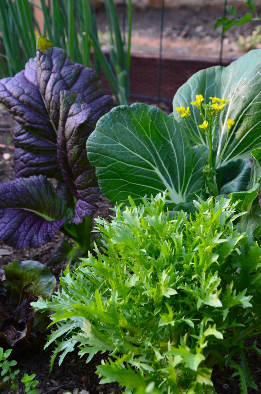 veg garden up close (frisee, mustard green, spoon cabbage)