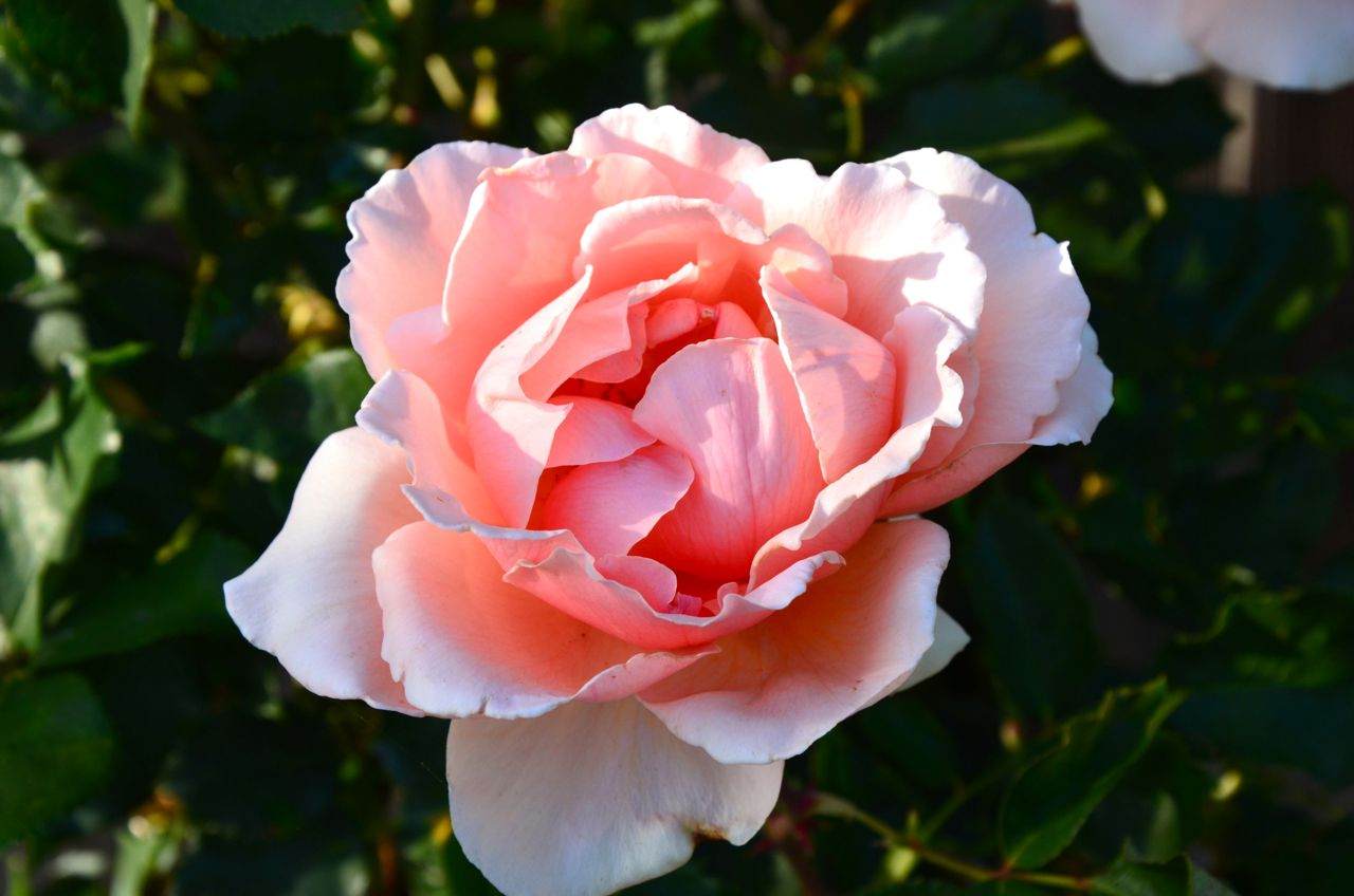 Just Joey Hybrid Tea Rose (pink peach rose)