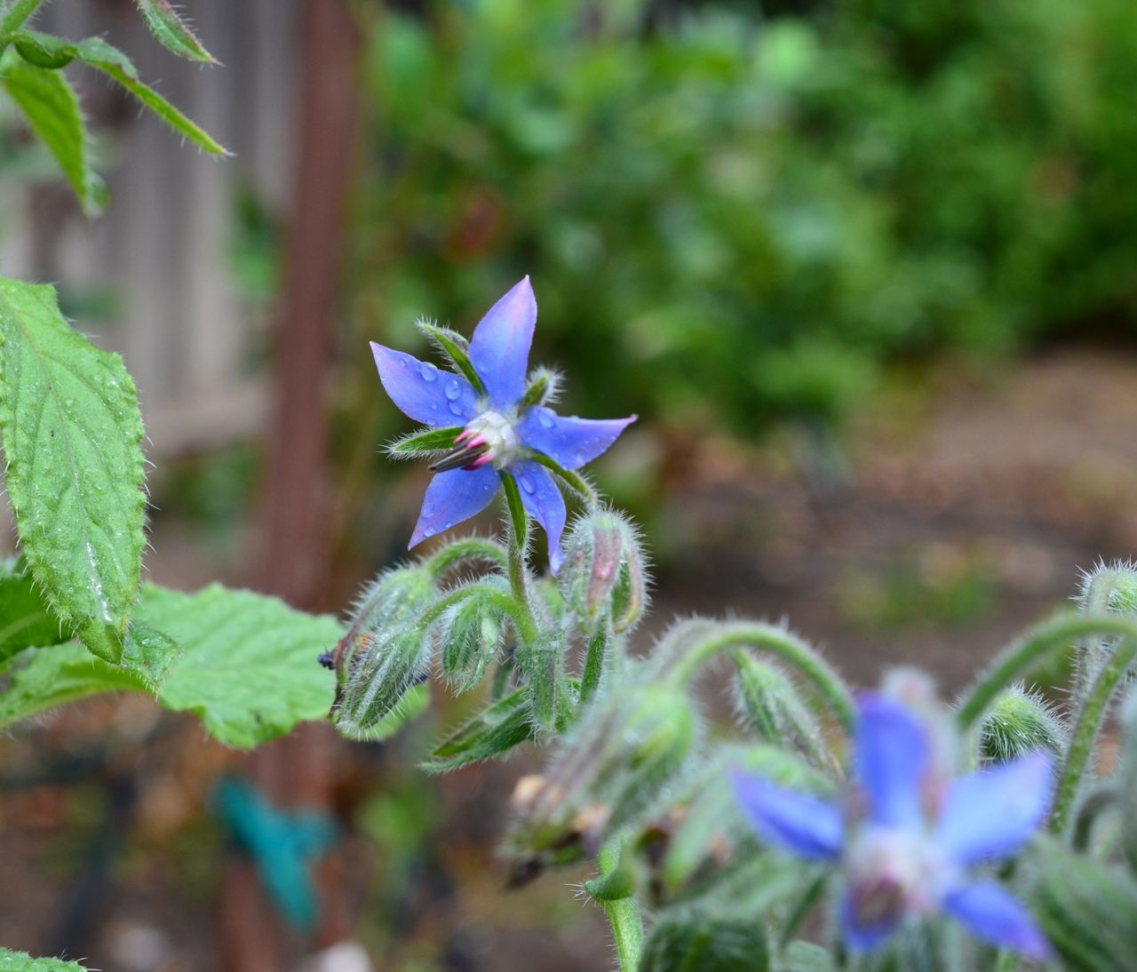 Borage plant growing in my backyard