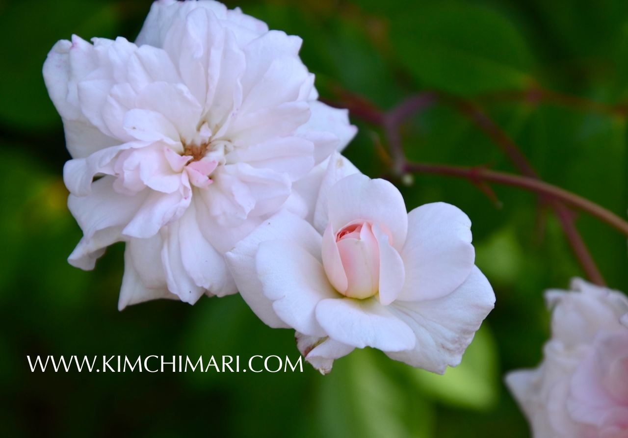 Pink Vine Rose in my back yard www.kimchimari.com
