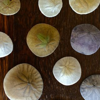 An array of different color Sand Dollars from Capitola Beach, California