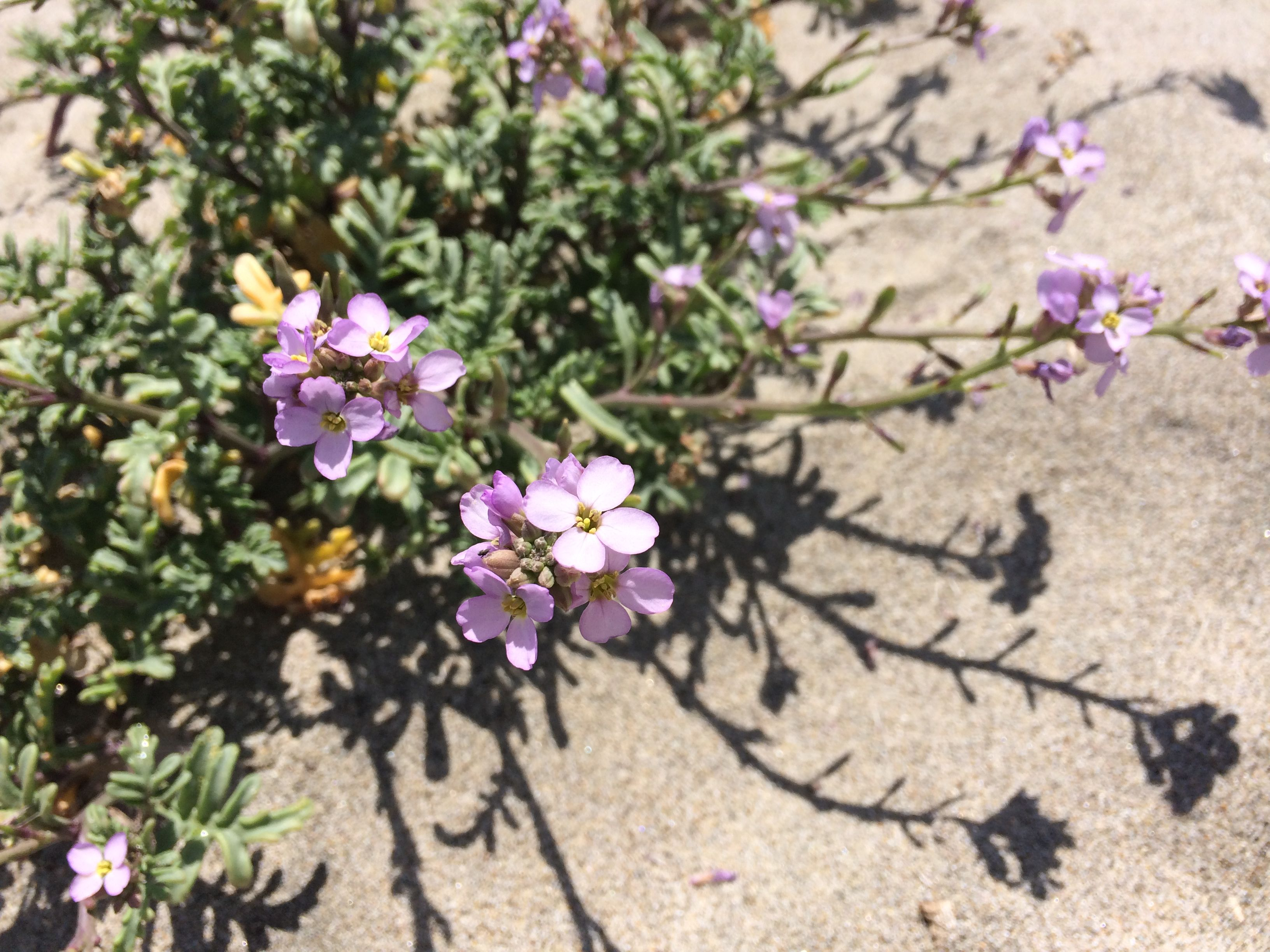 Pretty pink flowers that grow in the sand!