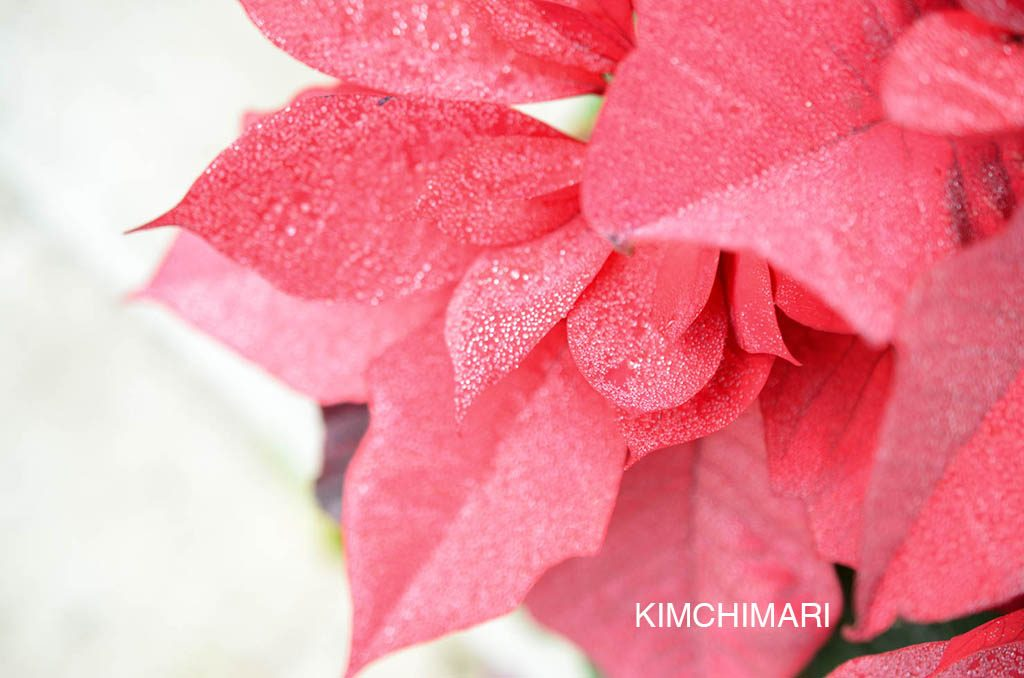 Dew on Poinsettia flowers