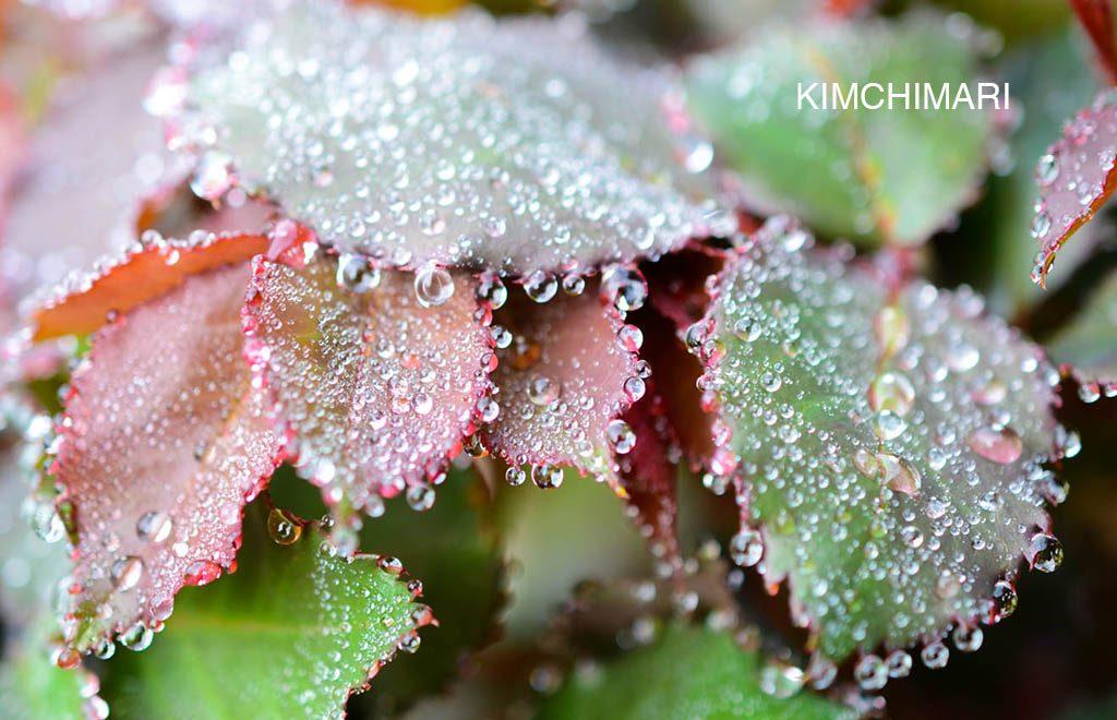 Dew on rose tree leaves