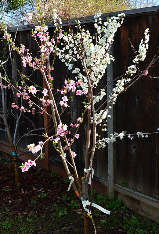 My fruit salad tree blooming in spring