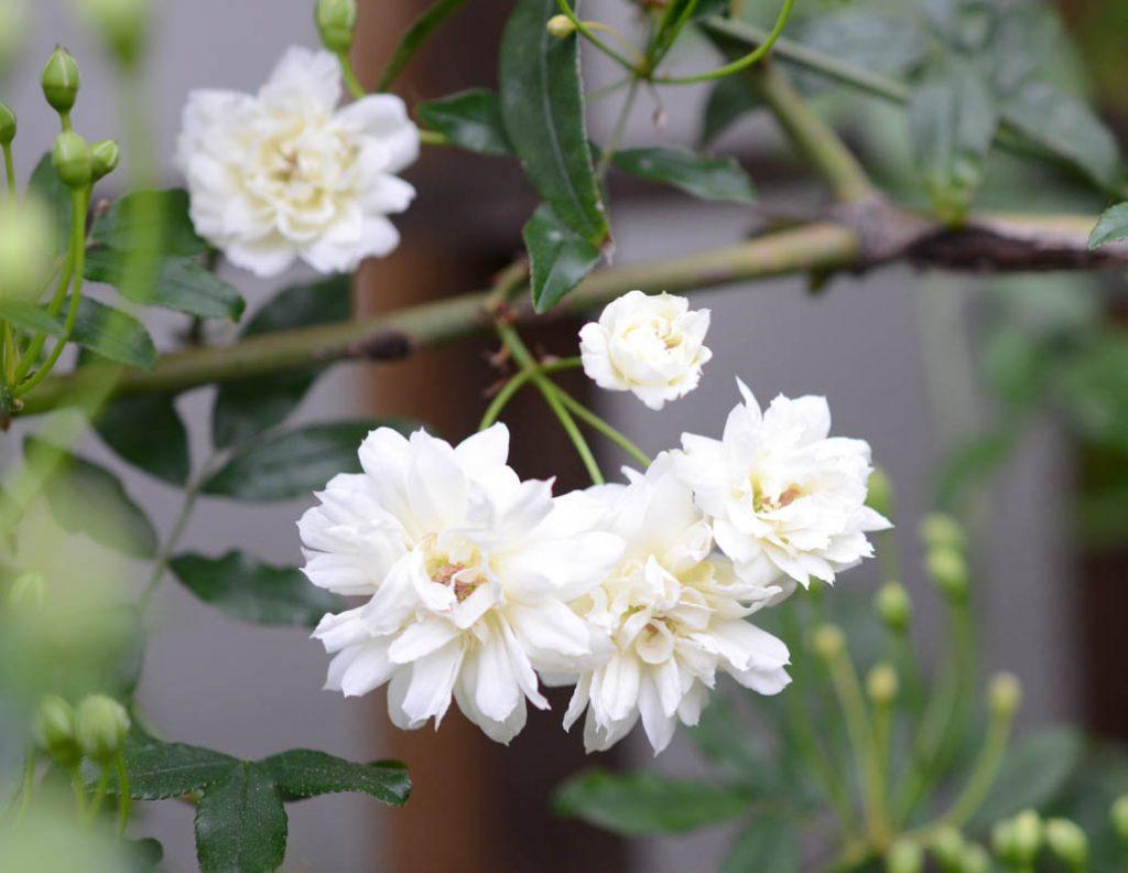 mini white rose vine