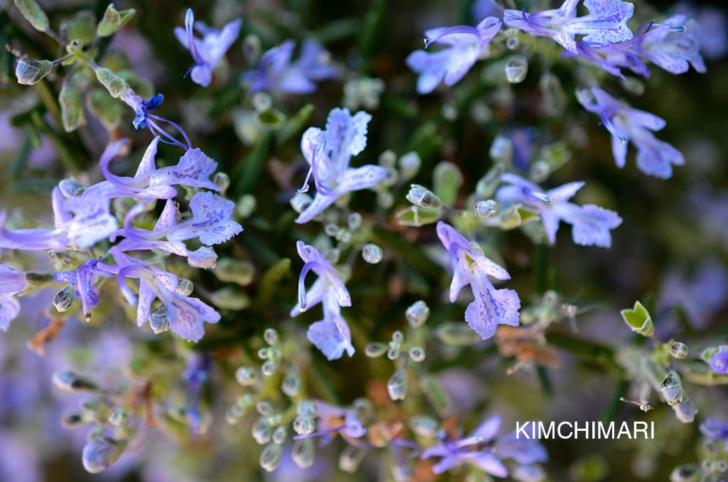 Rosemary flowers in spring