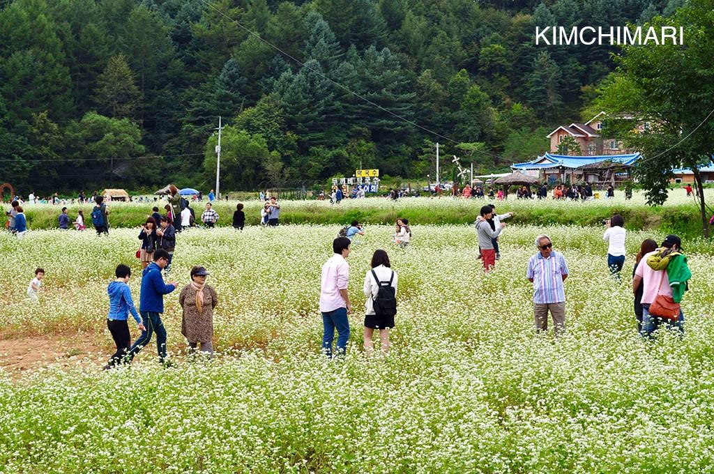 Bongpyeong Buckwheat Flower Festival