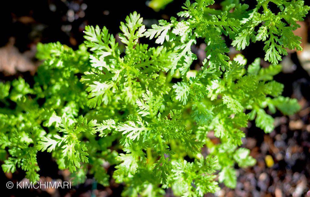Crown Daisies Korean Ssukgat in vegetable garden