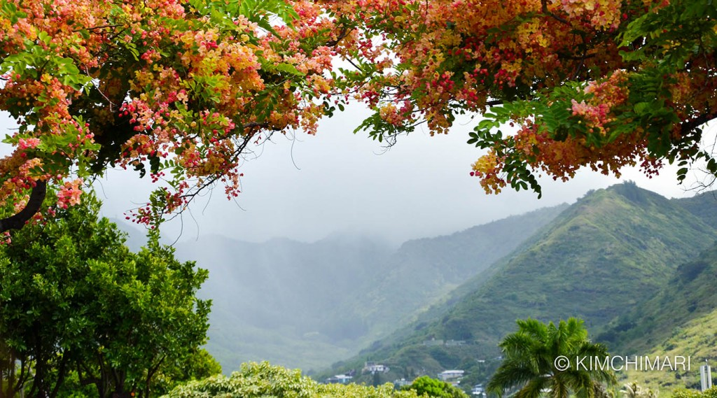 Rainbow Shower Tree at Honolulu Highway