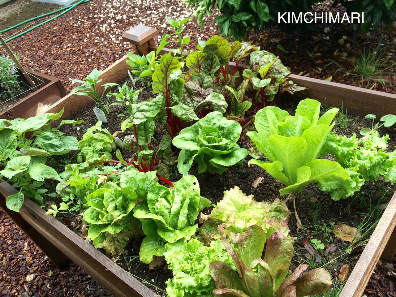 Different Ssam Greens in garden
