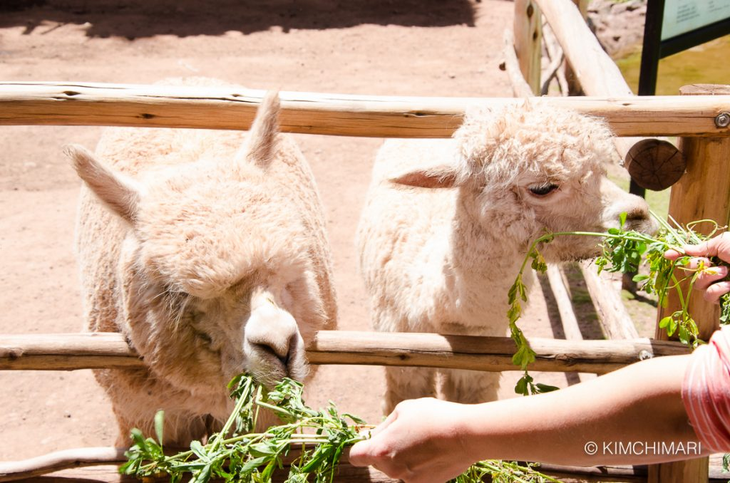 Alpacas in Sacred Valley, Peru