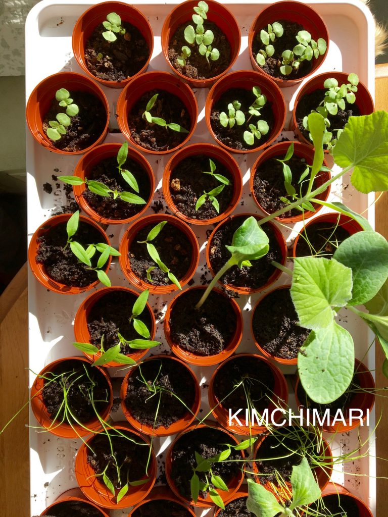 Korean Vegetable Seedlings (Perilla, squash, shishito peppers, leek) growing in mini seed pots