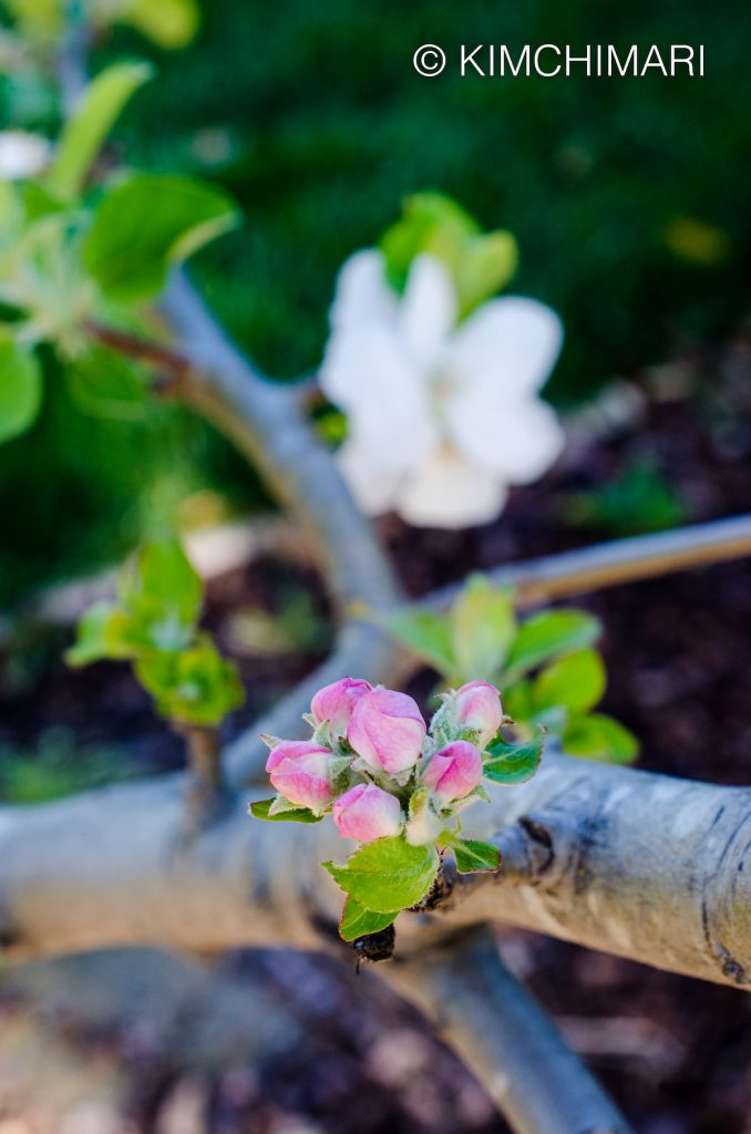 Gravenstein Apple Flower Buds
