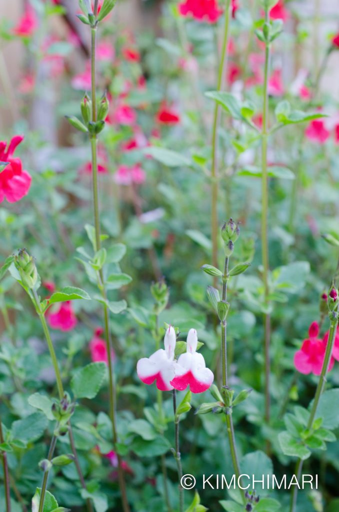 Salvia - Hot Lips Sage