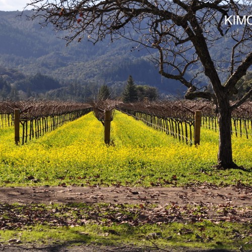 Napa Vineyard with Mustard flowers in Early Spring