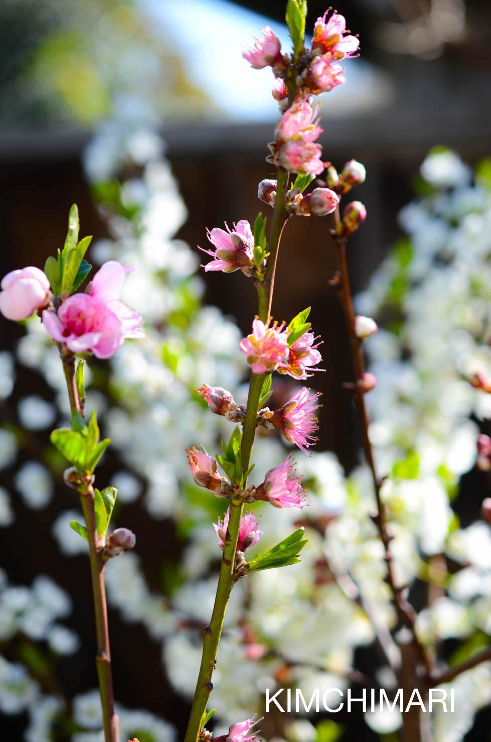 Fruit Salad Tree flowers blooming