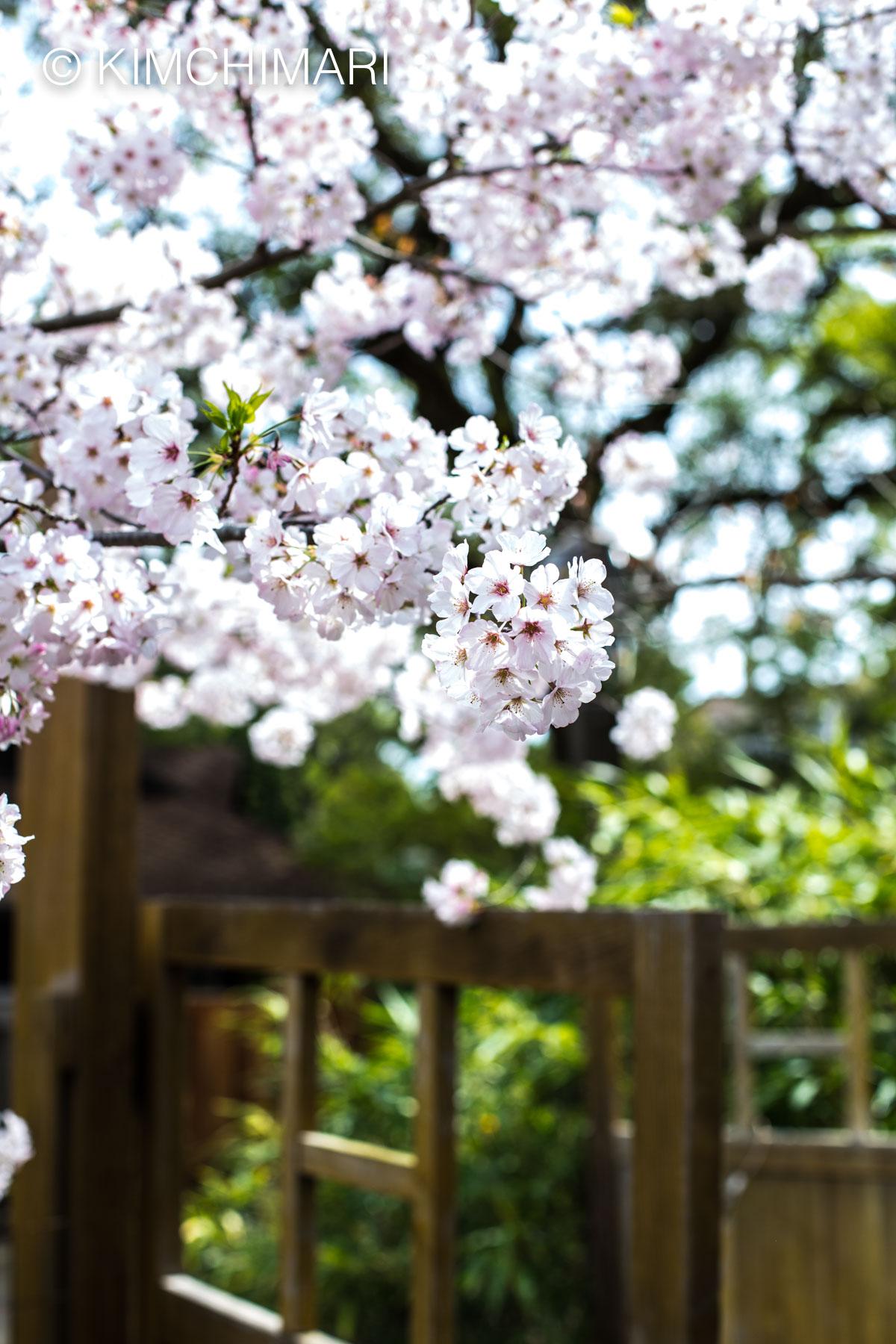 Cherry Blossom Hakone Gardens