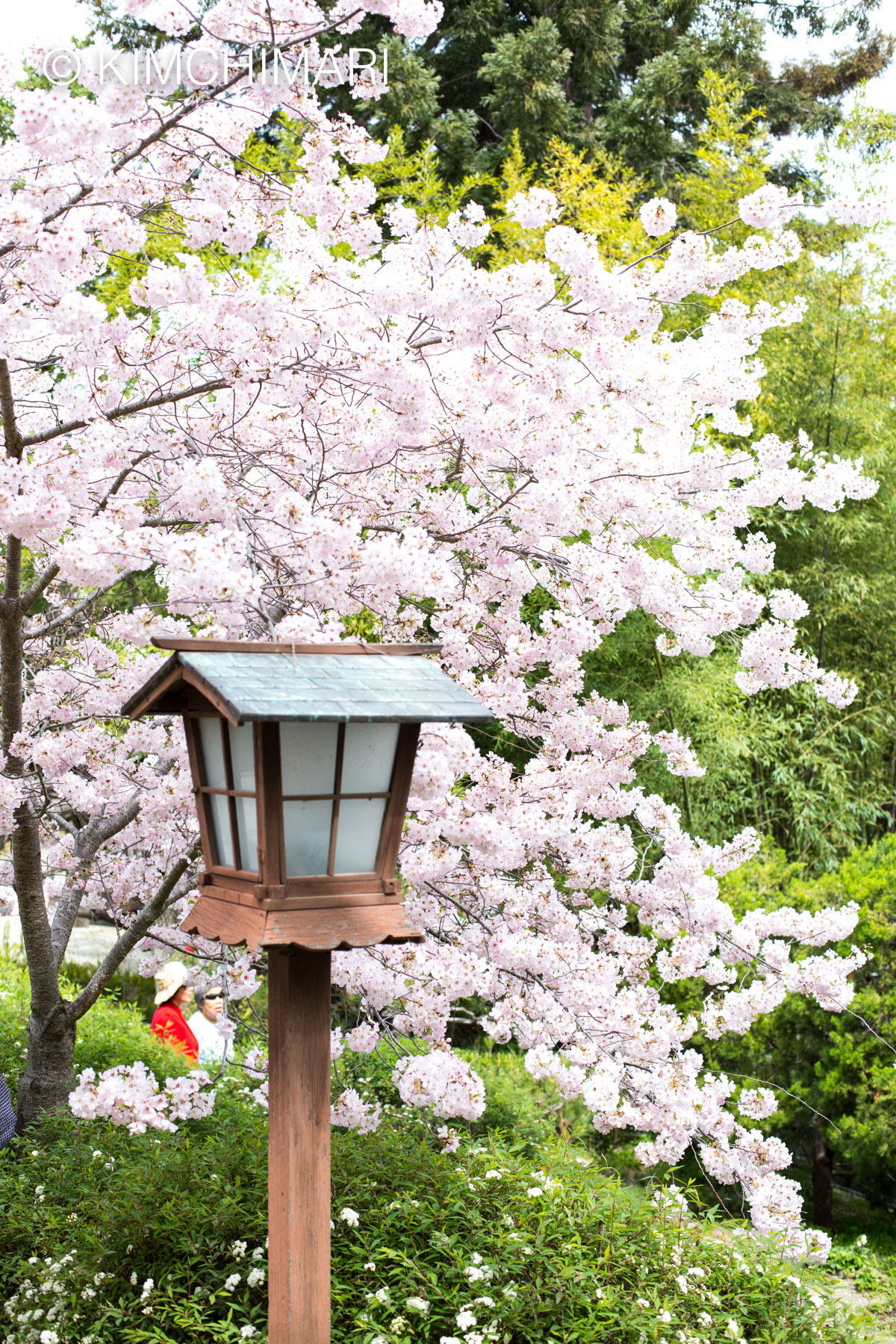 Cherry Blossoms and Lamp at Hakone Gardens
