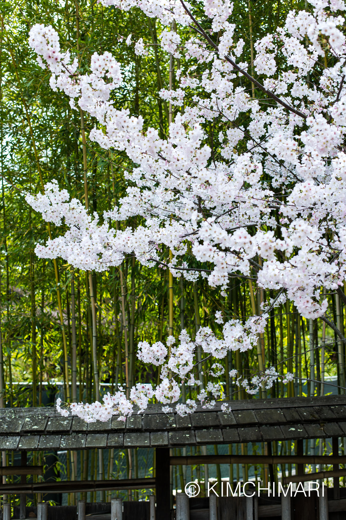 Cherry Blossoms in front of bamboo trees - Hakone Gardens