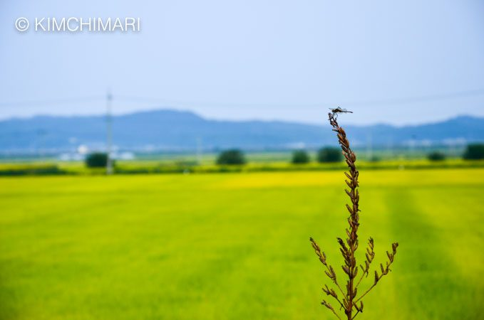 Dragonfly on top of plant with rice field in the background Korea