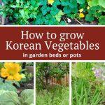 How to grow Korean vegetables in your garden
