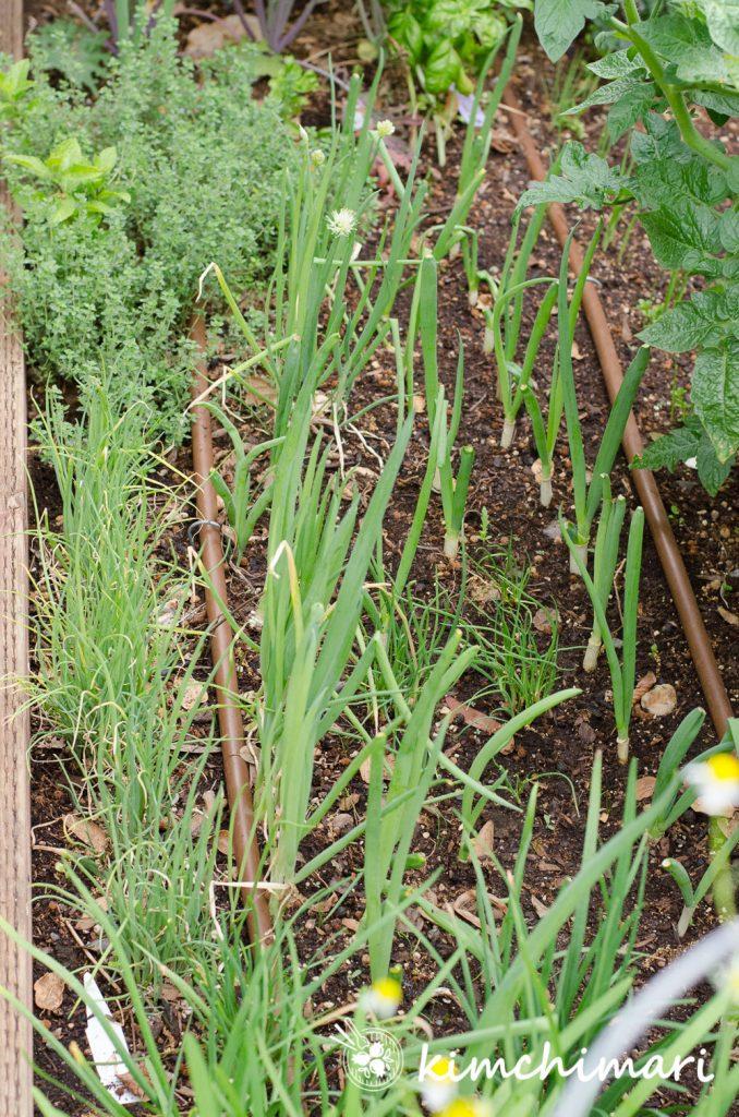 korean green onions growing in vegetable bed