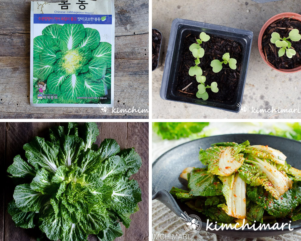 bomdong cabbage seed packet, seedlings, mature cabbage and bomdong kimchi