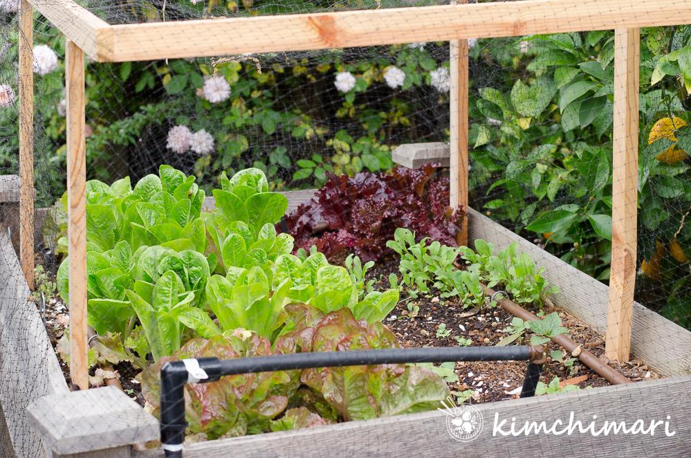 Korean lettuce growing in elevated wooden garden box